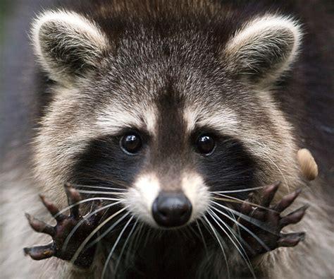 raccoon and what i learned from a rabid raccoon