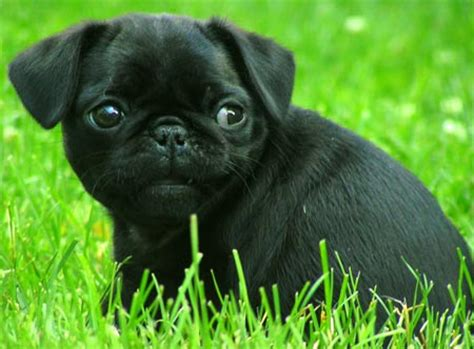 pug negro black pug www pugs co uk