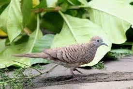 Tempat Pakan Burung Perkutut cara perawatan burung perkutut bagus harian situs burung