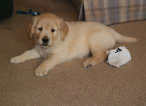 home with puppy file golden retriever puppy in the house jpg wikimedia