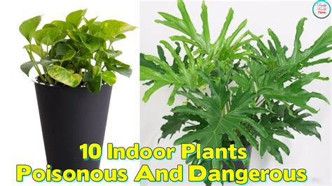 poisonous house plants 10 indoor plants that are poisonous and dangerous beauty health tips