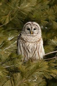 Tree Branch Shower Curtain Barred Owl In A Pine Tree Photograph By Michel Soucy