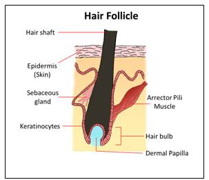 how to strengthen hair follicles in females over 40 new 3d hair follicle model to accelerate cure for baldness
