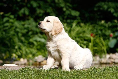 golden retriever malaysia golden retriever kaufen tipps dogs in our photo