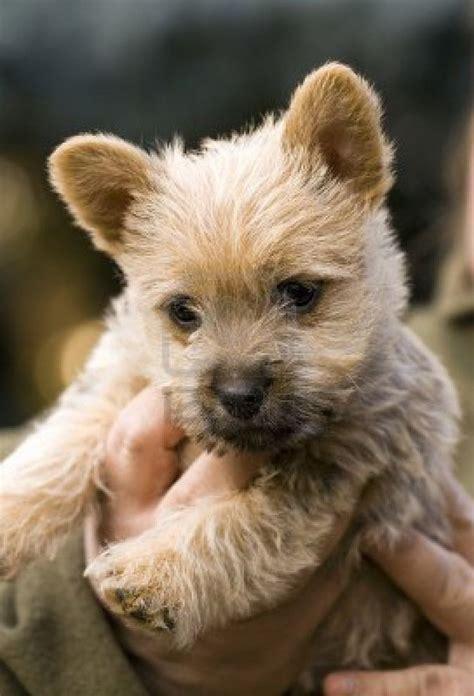 norwich terrier puppies norwich terrier puppy breeds picture