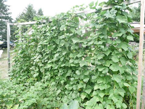 beans beans the musical fruit nickys garden