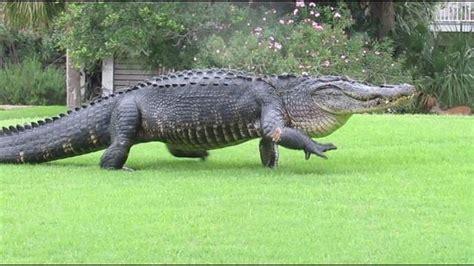 alligator rubber st alligator spotted traveling sc golf course