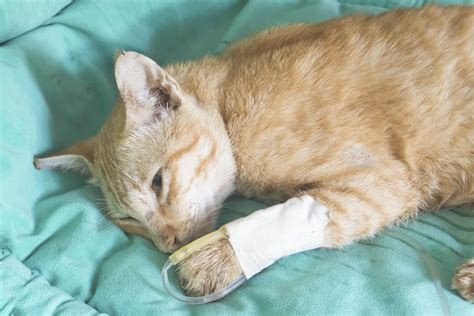 can cats get parvo from dogs parvovirus cats cats