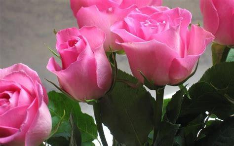 imagenes bellas wallpaper fondos de pantalla de flores rosadas hermosas tama 241 o 1280x800