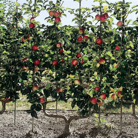 fruit tree planting guide apple trees growing guide suttons gardening grow how