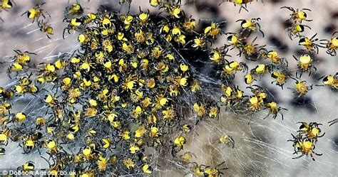 Garden Spider Babies On Back Clusters Of Baby Yellow Spiders Spotted Up And The
