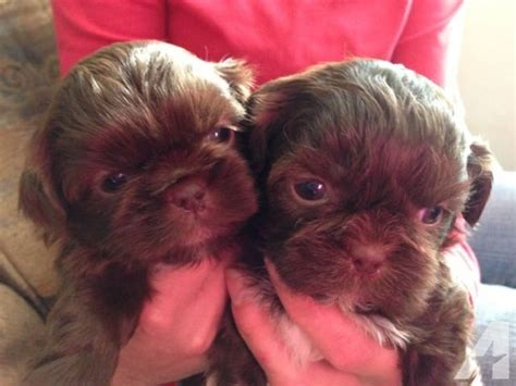liver and white shih tzu puppies for sale liver shih tzu puppies for sale in millers creek carolina classified