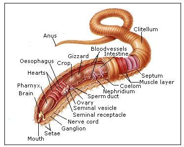 earthworm parts and what they do dr how s science wows quot a can of worms quot