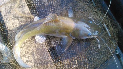 Cat Fish Untuk Curan Umpan Lele gambar macam jenis ikan lele budidaya beserta gambar umpan phyton utik di rebanas rebanas
