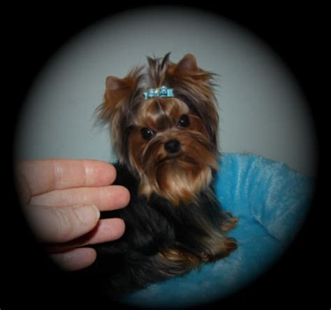 teacup yorkie edmonton teacup yorkies for sale in canada teacup yorkies for sale in united states