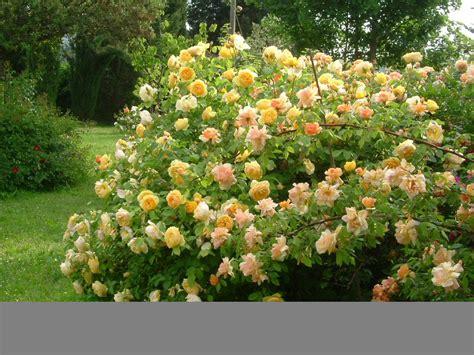 fiori a cespuglio cespuglio produzioni piante e fiori m b