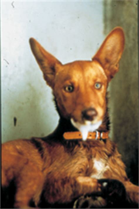 signs of rabies in dogs rabies a reemerging scare vital pet health ask the experts