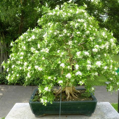 40pcs white daphne odera seeds indoor bonsai plant heirloom orange jasmine shrub with fragrant white flower