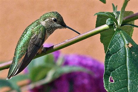 when do you see more hummingbirds at your feeders