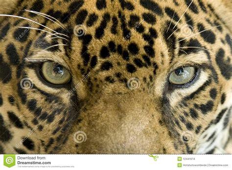 imagenes de ojos de jaguar close up eyes jaguar big cat costa rica stock photo