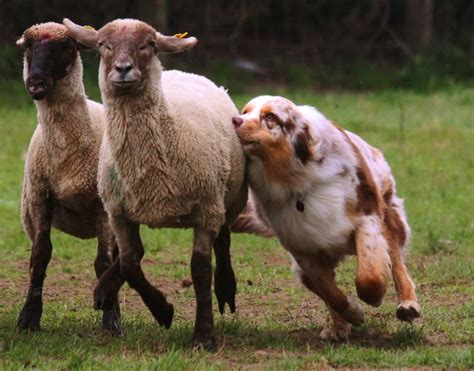 australian herding 25 best australian sheep dogs ideas on australian sheep aussie puppies