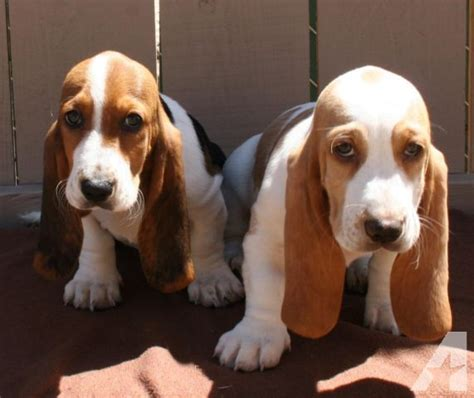 basset hound puppies for sale in california gorgeous lemon basset hound puppies for sale in lakeside california classified