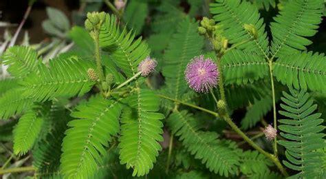 Obat Herbal Untuk Penyakit Batuk Kronis obat herbal batuk obat herbal obat batuk berdarah alami