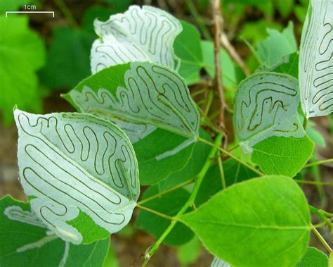 Curry Leaf Plant Diseases - update new pest amp disease records 04 sep 13 the plantwise blog