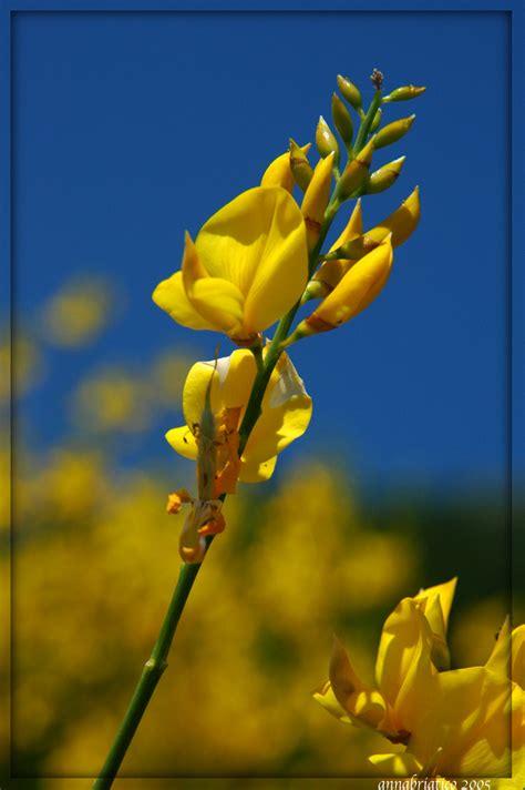 fiore di ginestra forum nikonclub it gt fiori