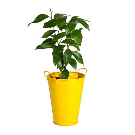 Lemon Tree Planter bloomsz lemon tree in decorative planter bloomsz