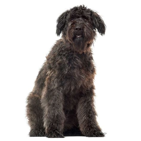 bouvier breed bouvier des flandres breed 187 everything about bouvier des flandres