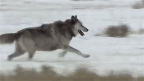 Darkness Beautiful Dark Themes wolf running gif tumblr