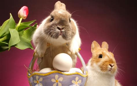 cute rabbit hd wallpaper 6 cute bunny rabbit easter wallpapers for desktop free