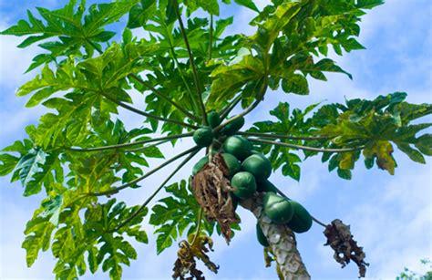 Pohon Masalah Kehamilan Remaja Manfaat Daun Pepaya Kembali Ke Alam