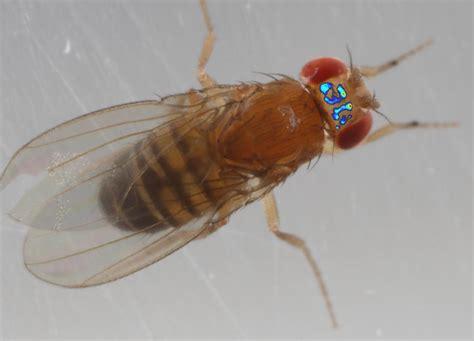 fruit fly peek into the brain of a freely walking fruit fly