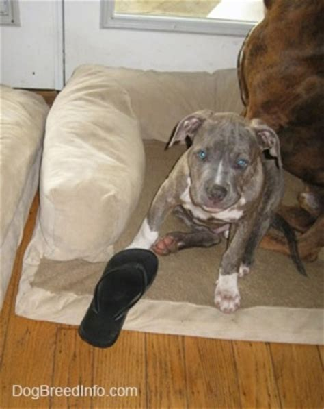dog beds for pitbulls raising a puppy 3 months old spencer the blue nose