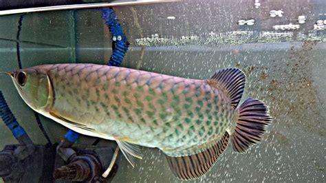 Anakan Ikan Arwana Golden Pino arwana pino yang dikenal dengan sebutan green arowana