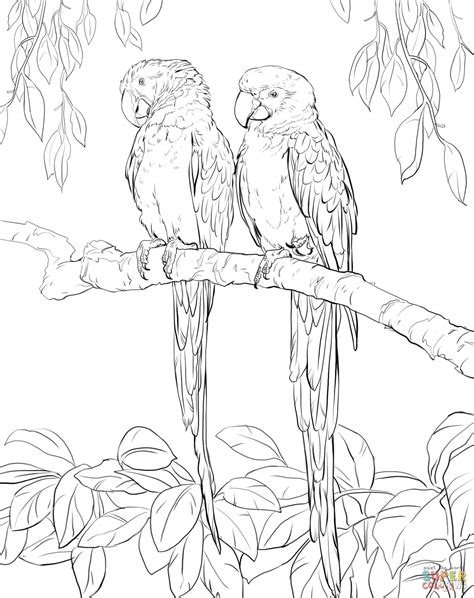 macaw coloring template coloring pages