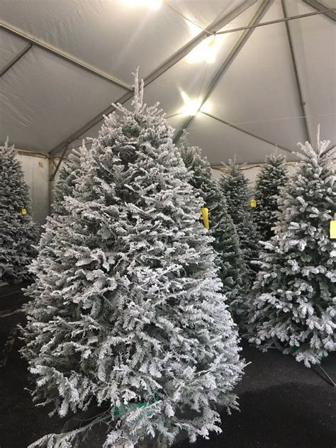 beautiful flocked grand fir and noble fir trees we got