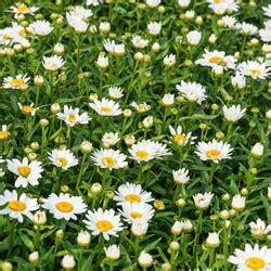 alaska shasta daisy leucanthemum superbum michigan bulb