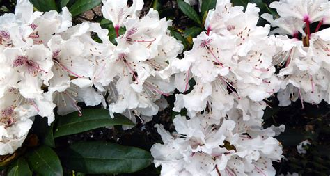 West Virginia Judiciary Search Name West Virginia State Flower The Rhododendron Proflowers