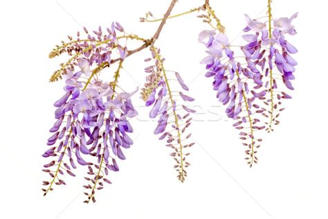 copy right free pictures of purple wisteria beautiful wisteria flowers stock photo 169 st 233 phane bidouze smithore 1732592 stockfresh