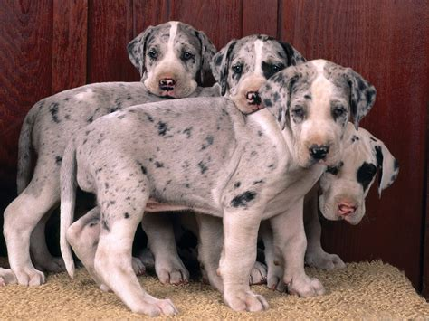 free great dane puppies great danes images great dane puppies hd wallpaper and background photos 15342697