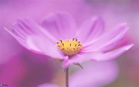 viola fiore immagini fiore viola