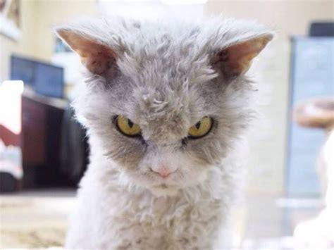 colere web image de chat en colere image de