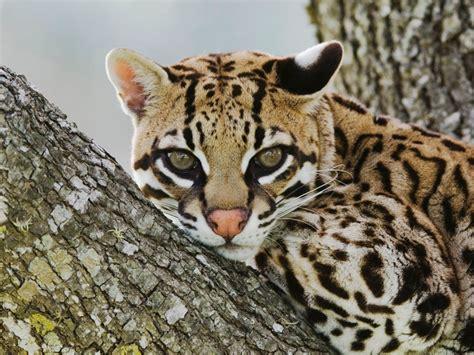 webshots cats female ocelot corpus christi texas webshots pinterest