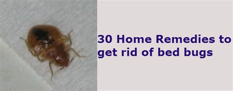 Bed Bugs What To Look For by 30 Home Remedies To Get Rid Of Bed Bugs From Your House