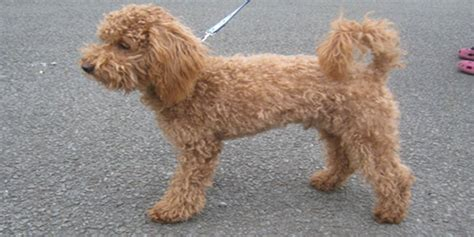 medium poodle lifespan poodle the littlest but not the least
