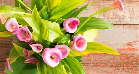 piante fiorite da appartamento foto calle piante da appartamento foto benessere leonardo it