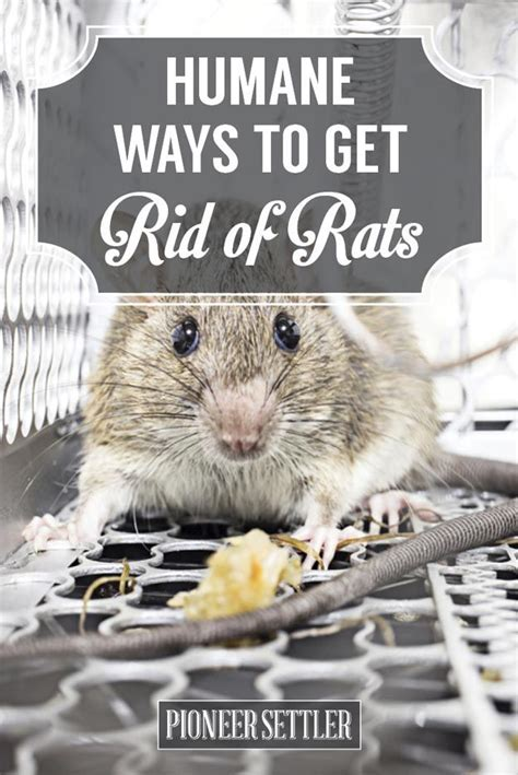 How To Get Rid Of Rats In Your Backyard by 17 Best Ideas About Getting Rid Of Rats On